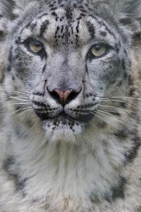RF - Snow leopard (Panthera uncia) female, portrait, captive by Edwin Giesbers