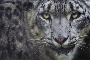 RF - Snow leopard (Panthera uncia) portrait, captive by Edwin Giesbers