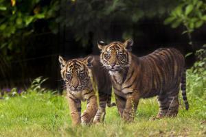Rf- Sumatran Tiger (Panthera Tigris Sumatrae) With Cub, Aged Four Months, Captive by Edwin Giesbers