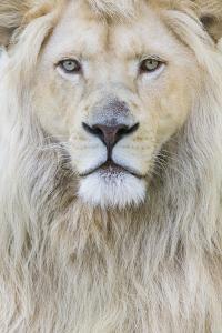 RF - White lion (Panthera leo) male, portrait of head. Captive, Netherlands. by Edwin Giesbers