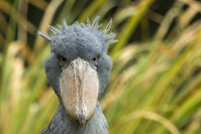 Shoebill - Whale Headed Stork (Balaeniceps Rex) Head Portrait, Captive