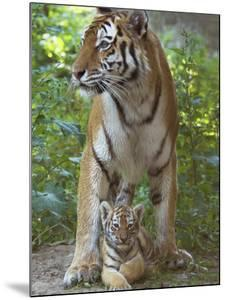 Siberian Tiger Mother with Young Cub Resting Between Her Legs by Edwin Giesbers