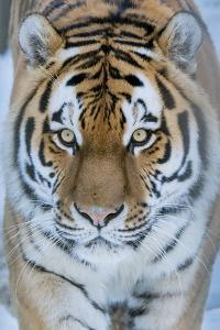 Siberian tiger (Panthera tigris altaica) in snow, captive. by Edwin Giesbers