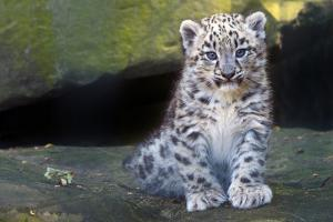 Snow leopard (Panthera uncia) cub age three months, captive by Edwin Giesbers