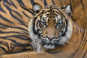 Sumatran Tiger (Panthera Tigris Sumatrae), Captive, Occurs In Sumatra, Indonesia by Edwin Giesbers