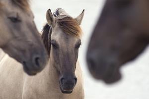 Three Konik Wild Horses (Equus Ferus Caballus). The Netherlands, November by Edwin Giesbers