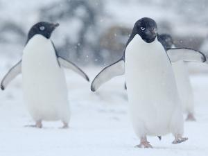 Two Adelie Penguins Walking on Snow, Antarctica by Edwin Giesbers