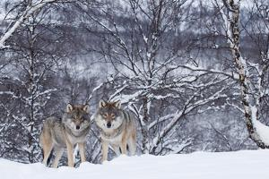 Two European Grey Wolves (Canis Lupus) In Woodland, Captive, Norway, February by Edwin Giesbers