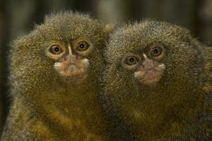 Two Pygmy Marmosets (Cebuella Puygmaea) Captive by Edwin Giesbers