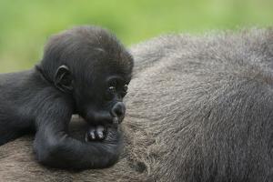 Western Lowland Gorilla (Gorilla Gorilla Gorilla) Baby Age 45 Days by Edwin Giesbers