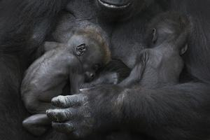 Western Lowland Gorilla (Gorilla Gorilla Gorilla) Twin Babies Age 45 Days Sleeping in Mother's Arms by Edwin Giesbers