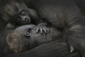 Western Lowland Gorilla (Gorilla Gorilla Gorilla) Twin Babies Age 45 Days by Edwin Giesbers