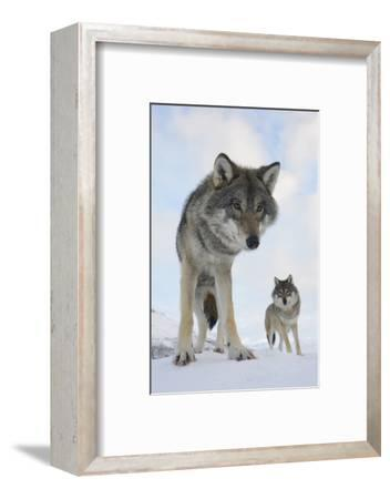 Wide Angle Close-Up Of Two European Grey Wolves (Canis Lupus), Captive, Norway, February