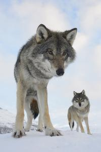 Wide Angle Close-Up Of Two European Grey Wolves (Canis Lupus), Captive, Norway, February by Edwin Giesbers