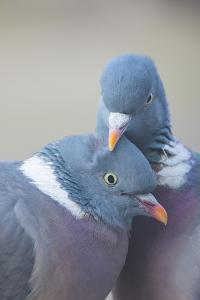 Wood pigeon (Columba palumbus) pair preening one another, The Netherlands by Edwin Giesbers