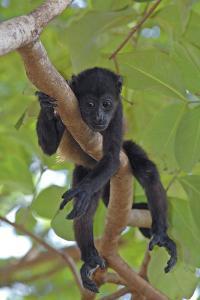 Young Black Howler Monkey (Alouatta Caraya) Looking Down from Tree, Costa Rica by Edwin Giesbers