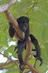 Young Black Howler Monkey (Alouatta Caraya) Looking Down from Tree, Costa Rica by Edwin Giesbers