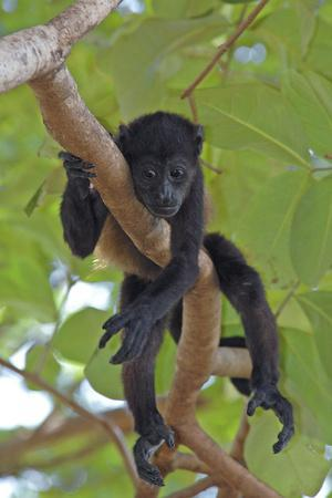 Young Black Howler Monkey (Alouatta Caraya) Looking Down from Tree, Costa Rica