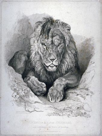 Nero, a Lion from Senegal, Now Exhibiting in the Tower of London, 1814 by Edwin Henry Landseer