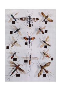 Collection of Ichneumon Flies by Edwin L. Wisherd