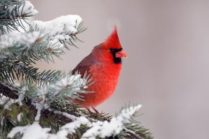 Northern Cardinal Perched in A Tree by EEI_Tony