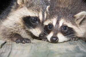 Tw Baby Raccoon by EEI_Tony