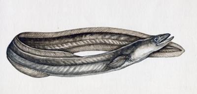 Eel (Anguilla Anguilla), Anguillidae