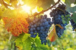 Bunch of Black Grapes on the Vine by egal