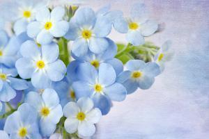 Forget Me Not on Blue Background by egal