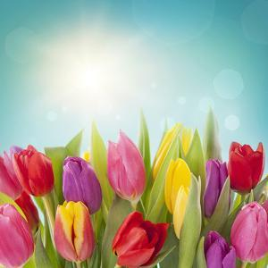 Tulip Flowers on Blue Background by egal