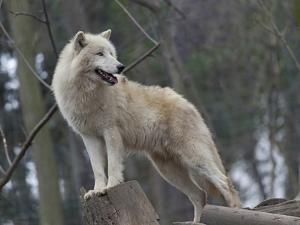 White Arctic Wolf by egal