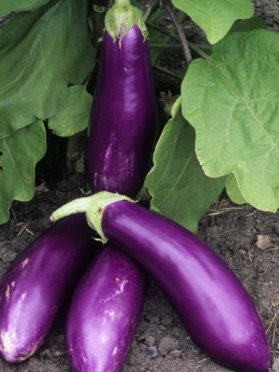 Eggplant 'Neon'-Wally Eberhart-Photographic Print