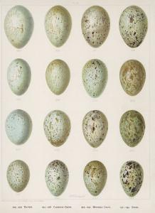 Eggs of Raven Crows Rooks and Jackdaws