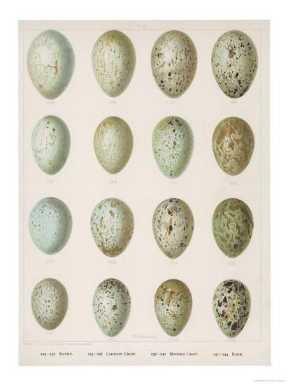 Eggs of Raven Crows Rooks and Jackdaws--Giclee Print