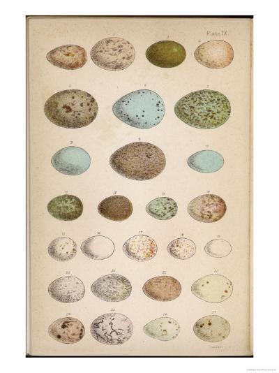 Eggs of Two Dozen Birds--Giclee Print