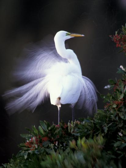 Egret Breeding Plumage, Venice, Florida, USA-Art Wolfe-Photographic Print