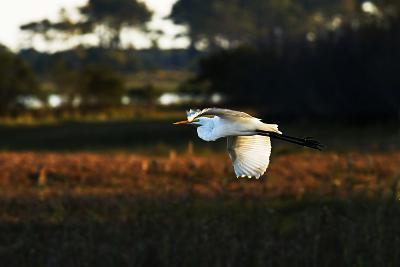 Egret in Flight 2-Alan Hausenflock-Photographic Print