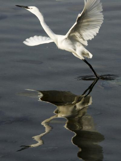 Egret Takes Off from River Ganges in Haridwar, India--Photographic Print