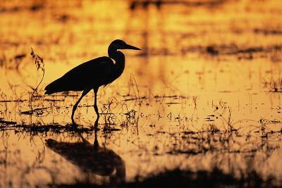 Egret Wading Through the Khwai River--Photographic Print