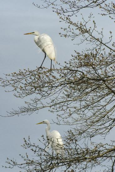 Egret-Gary Carter-Photographic Print