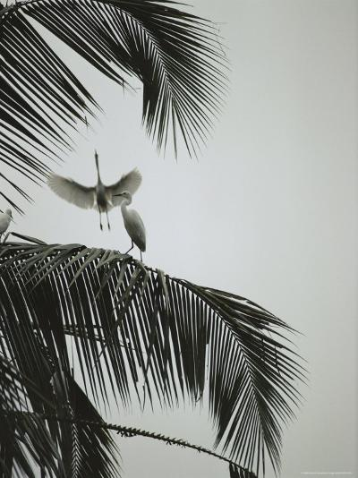 Egrets in a Palm Tree, Bali, Indonesia-Michael Nichols-Photographic Print
