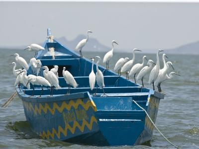 Egrets on a Blue Boat with a Yellow Pattern-Michael Polzia-Photographic Print