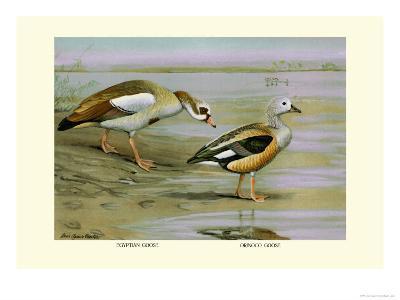 Egyptian and Orinoco Goose-Louis Agassiz Fuertes-Art Print