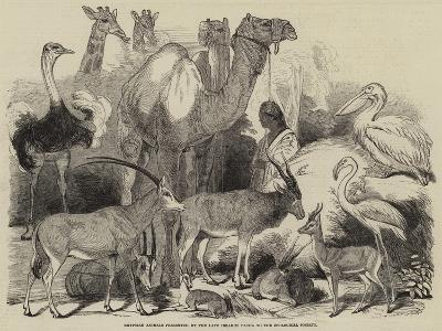 Egyptian Animals Presented by the Late Ibrahim Pacha to the Zoological Society--Giclee Print