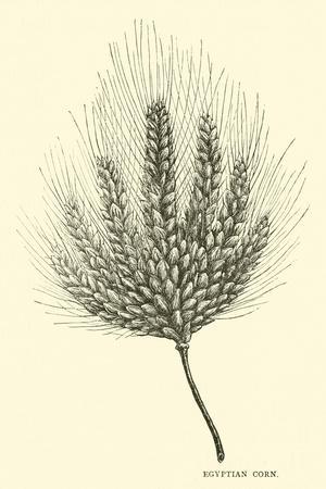 https://imgc.artprintimages.com/img/print/egyptian-corn_u-l-pp8uux0.jpg?p=0