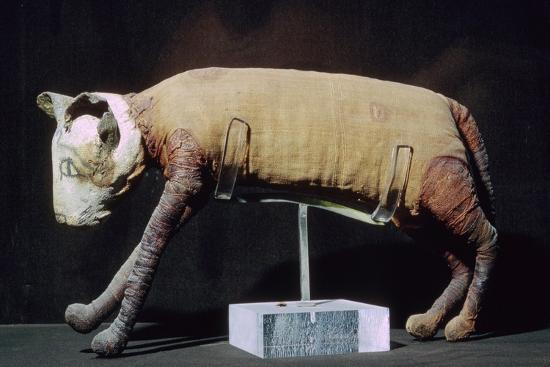 Egyptian mummy of a cat from the Louvre's collection. Artist: Unknown-Unknown-Giclee Print