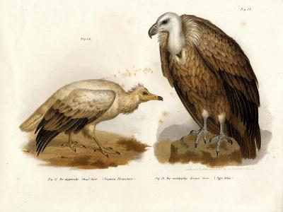 Egyptian Vulture, 1864--Giclee Print