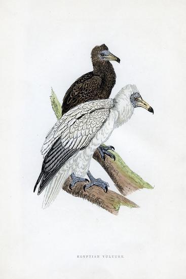 Egyptian Vulture, C19th Century--Giclee Print