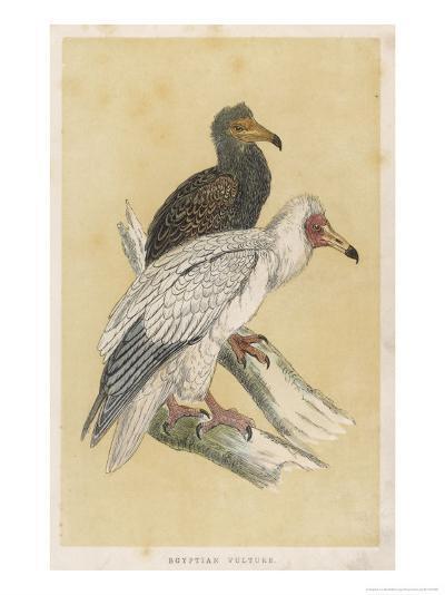 Egyptian Vulture-Reverend Francis O^ Morris-Giclee Print