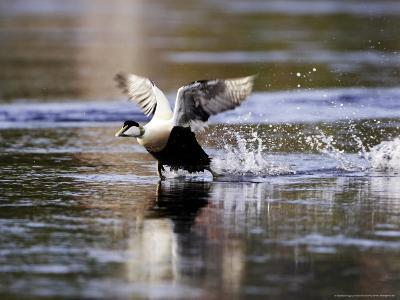 Eider, Adult Male Running Across Water Ready for Take Off, Norway-Mark Hamblin-Photographic Print